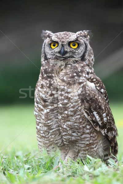 Eagle owl herbe oiseau jaune Photo stock © fouroaks