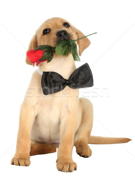 Cute Labrador Puppy with Rose Stock photo © fouroaks