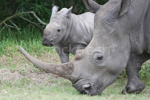 Baby Rhino with it's  Mother Stock photo © fouroaks
