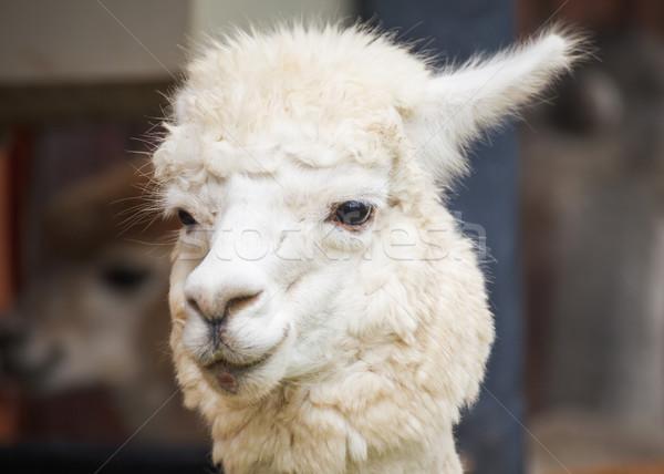 Alpaka portre yeşil çiftlik kafa hayvan Stok fotoğraf © FrameAngel