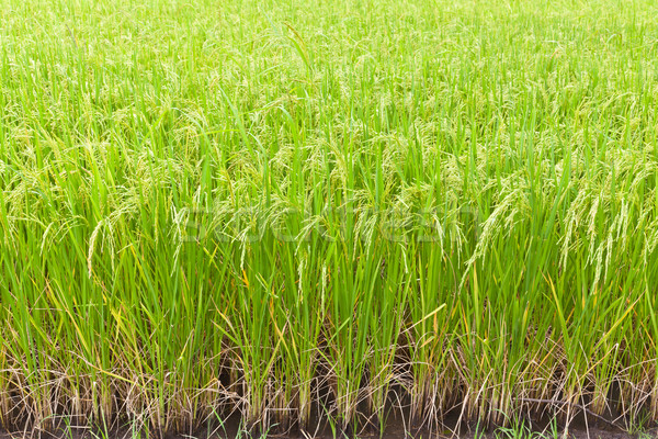 Paddy rice in field, Thailand Stock photo © FrameAngel