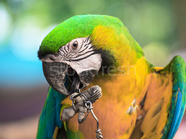 Blue and Gold macaw, Scientific name 'Ara ararauna' bird Stock photo © FrameAngel