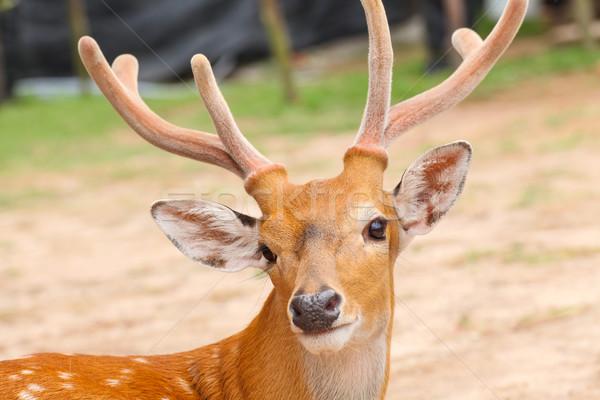 оленей голову лес области фермы Сток-фото © FrameAngel