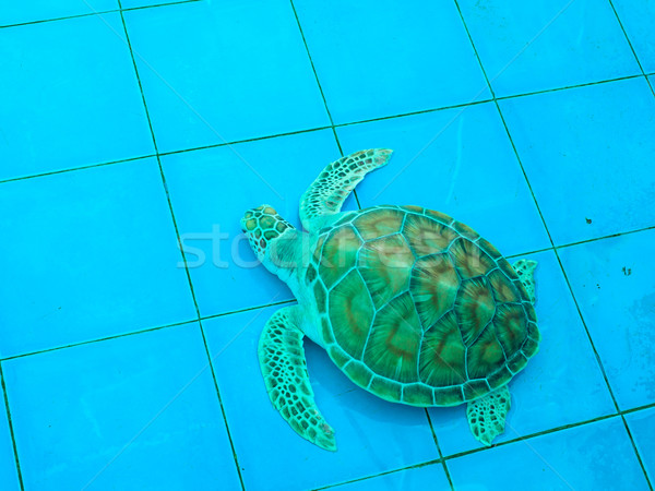 green turtle or Chelonia mydas Stock photo © FrameAngel