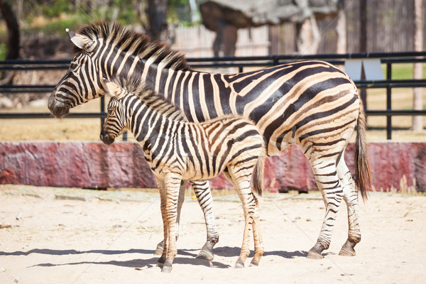Zebra bilim anne çocuk durmak kum Stok fotoğraf © FrameAngel