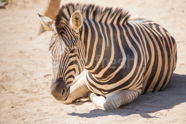 Common Zebra, science names 'Equus burchellii', lay down on sand Stock photo © FrameAngel
