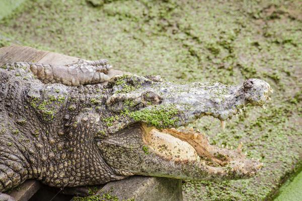 Crocodilo mandíbula verde boca Foto stock © FrameAngel