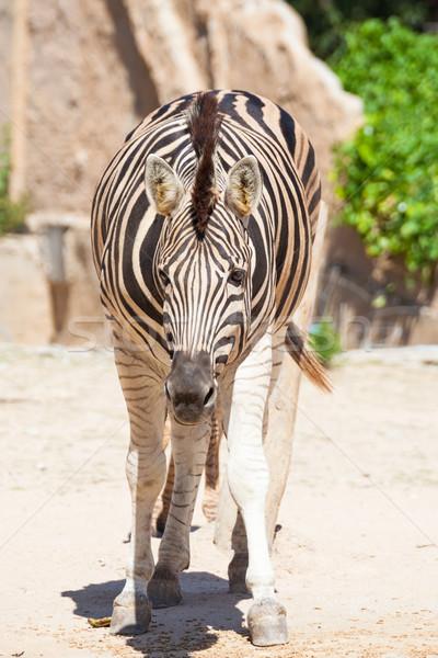 Common Zebra, science names 'Equus burchellii', stand on sand gr Stock photo © FrameAngel