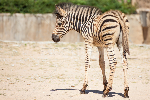 Common Zebra, science names 'Equus burchellii', baby stand on sa Stock photo © FrameAngel
