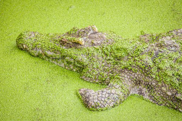 Krokodyla zielone staw Zdjęcia stock © FrameAngel