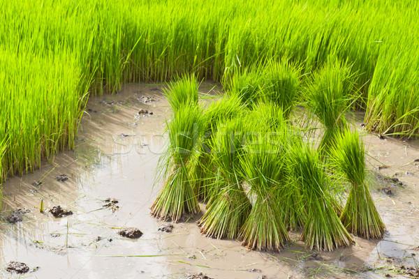 Hajtás thai rizsföld ház háttér fák Stock fotó © FrameAngel