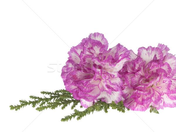 Dos rosa clavel blanco primavera naturaleza Foto stock © FrameAngel