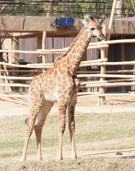 giraffe Stock photo © FrameAngel