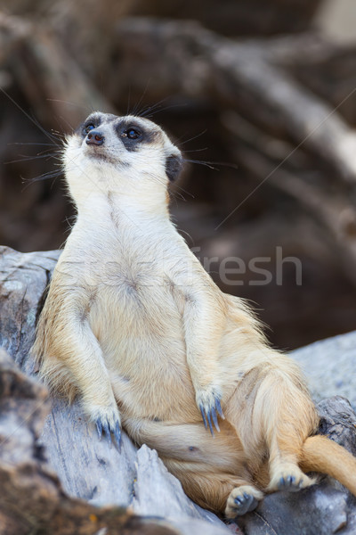 alert meerkat (Suricata suricatta) sitting and relax on tree as  Stock photo © FrameAngel