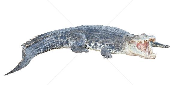 Krokodil nyitva állkapocs Stock fotó © FrameAngel
