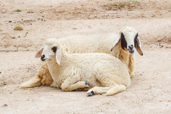 Sheep lay down,couple Stock photo © FrameAngel