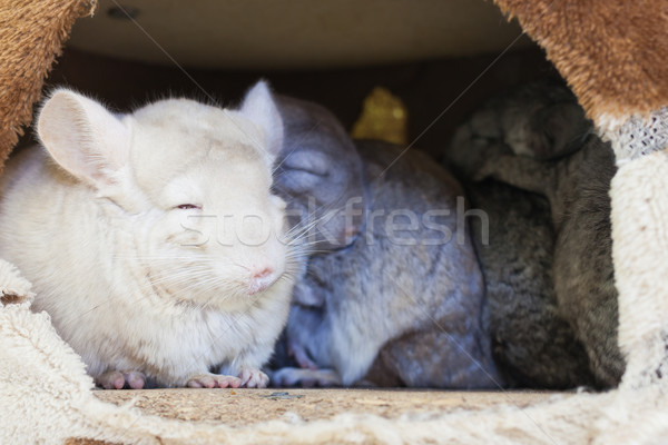 Chinchilla groupes dormir trou cheveux fond Photo stock © FrameAngel