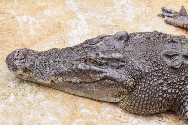 Krokodil fej zöld száj Stock fotó © FrameAngel