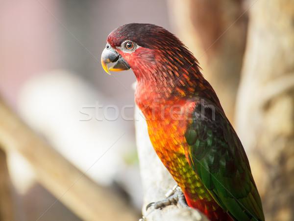 Cardinal Lory, Chalcopsitta cardinalis parrot bird Stock photo © FrameAngel
