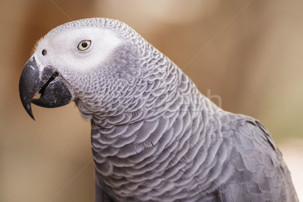 африканских серый Parrot птица путешествия Африка Сток-фото © FrameAngel