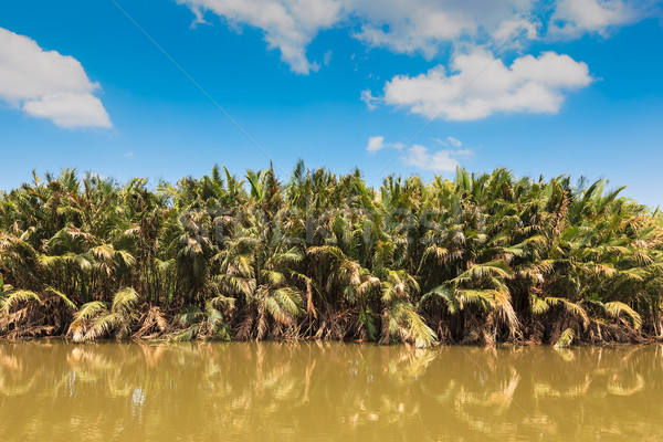 'Nypa fruticans' or 'nipa palm', in mangrove and blue sky Stock photo © FrameAngel