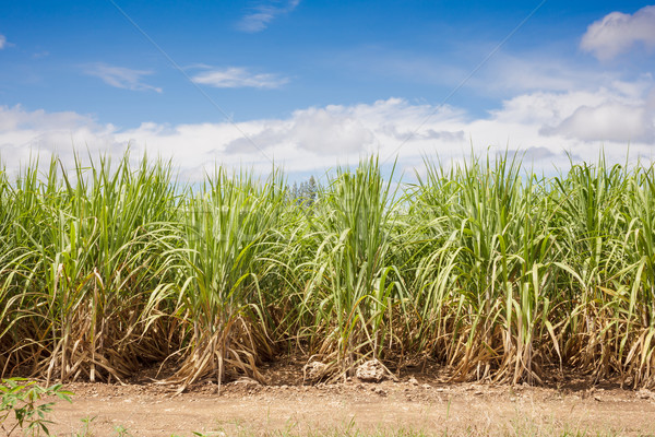 Sugarcane field and blue sky Stock photo © FrameAngel