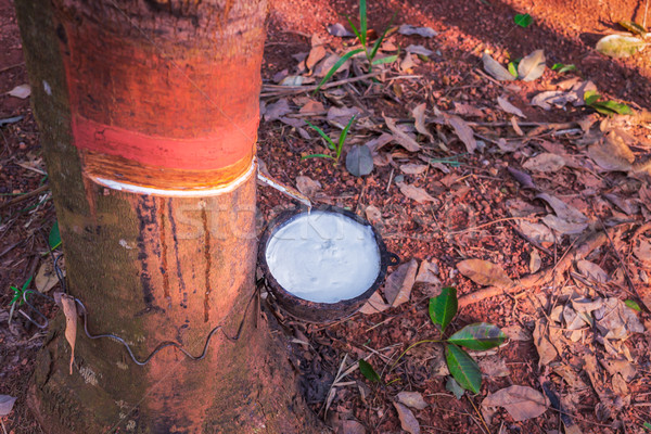 milk of rubber tree flows into a bowl Stock photo © FrameAngel