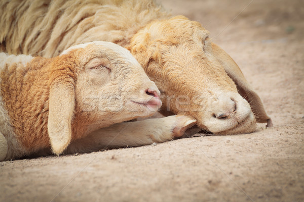 Little Lamb with Mother sheep sleeping Stock photo © FrameAngel