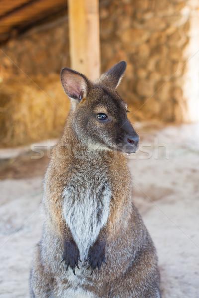 wallaby, small kangaroo Stock photo © FrameAngel