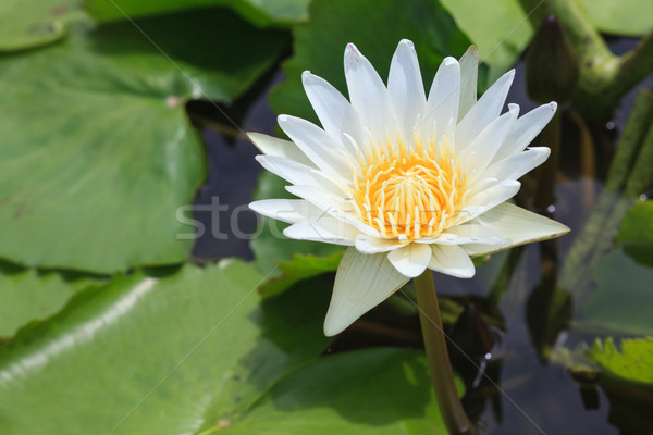 waterlily, lotus blooming in the tropical garden Stock photo © FrameAngel