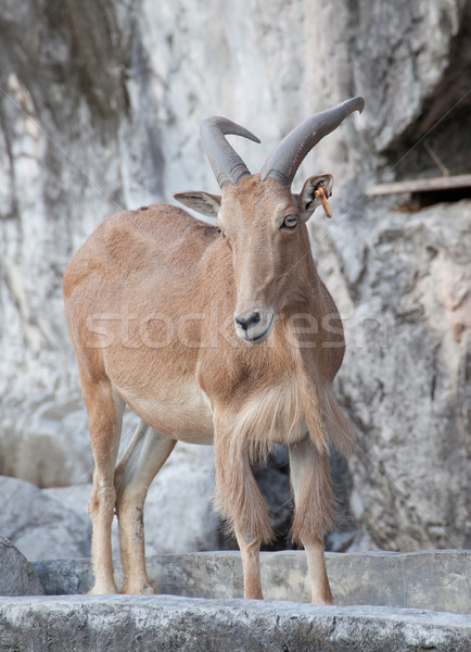 овец рок голову парка животного коза Сток-фото © FrameAngel