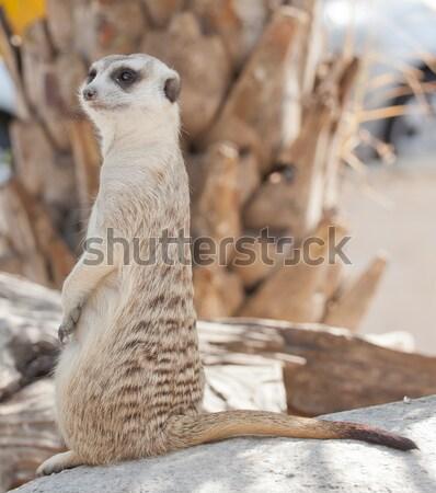 Meerkat Stock photo © FrameAngel