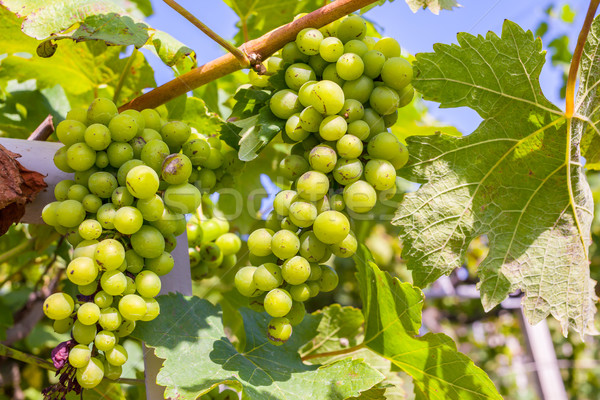 bunch of grapes on with green leaves Stock photo © FrameAngel