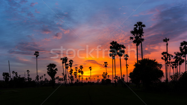 Sugar Palm Tree as  silhouette in sky sunset twilight time Stock photo © FrameAngel