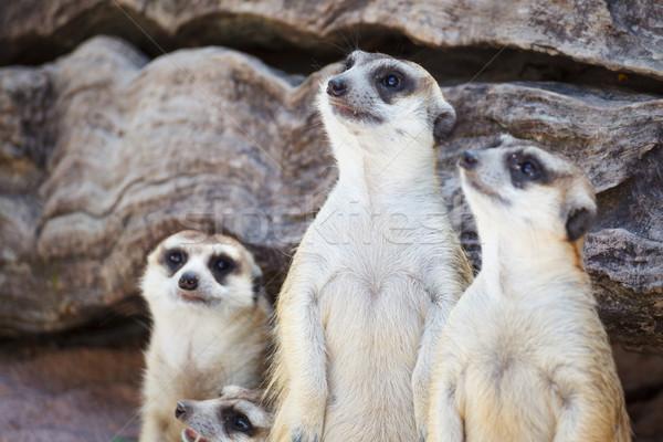 alert meerkat (Suricata suricatta) standing and looking around f Stock photo © FrameAngel