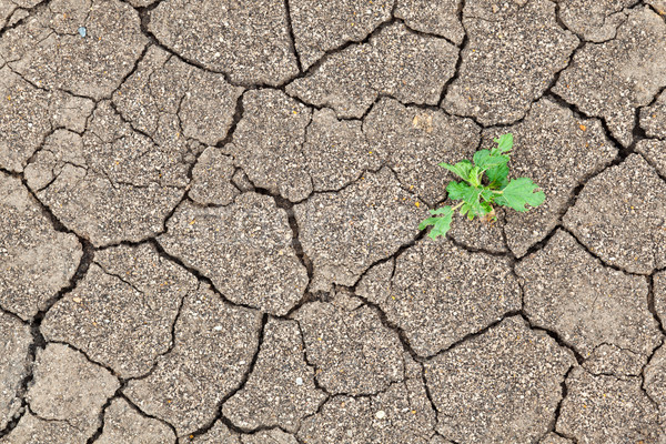 Small plant growth between cracked soil texture Stock photo © FrameAngel