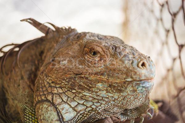iguana lizard, focus at eyes Stock photo © FrameAngel