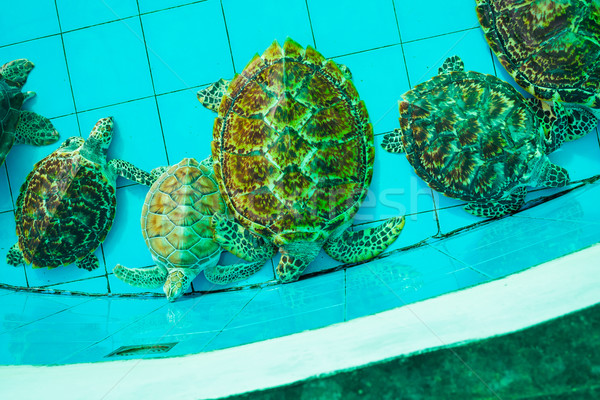 green turtle or Erethmochelys imbricata on pond, top view Stock photo © FrameAngel