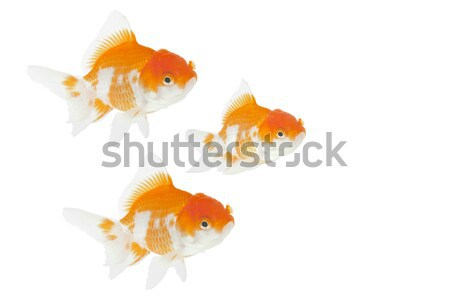 gold fish  Stock photo © FrameAngel
