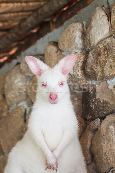 Kenguru fehér szín baba természet anya Stock fotó © FrameAngel
