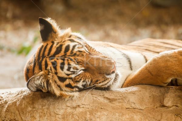 虎 寝 リラックス 木材 ツリー ストックフォト © FrameAngel