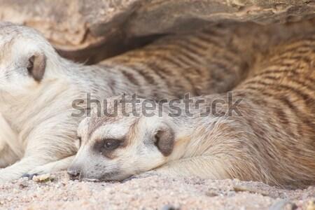 Natuur woestijn mond afrika bewaker cute Stockfoto © FrameAngel