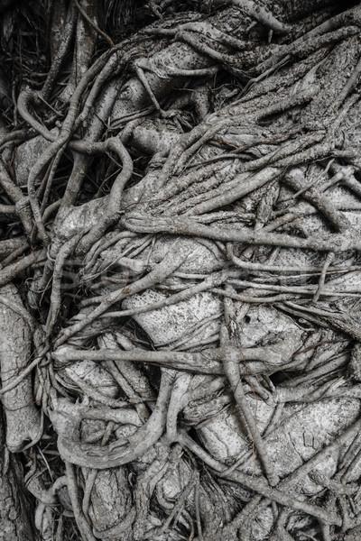 Grande raíz madera árbol textura primavera Foto stock © FrameAngel