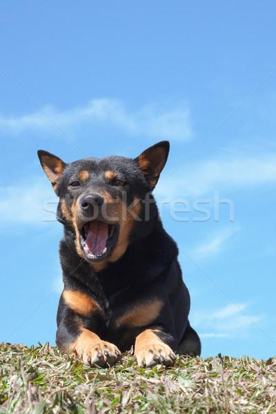 肖像 犬 見える リラックス 草地 青 ストックフォト © FrameAngel