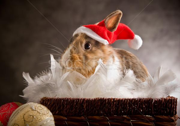 Dwarf Rabbit wearing a Santa Claus Costume Stock photo © Francesco83