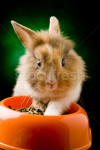 Dwarf Rabbit with Lion's head with his food bowl Stock photo © Francesco83