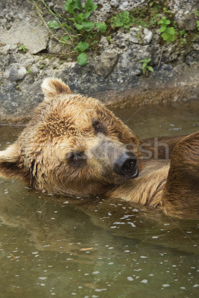 Stock photo: Brown bear taking a bath in the lake.