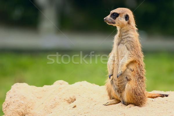 Standing Suricate or Meerkat  Stock photo © frank11