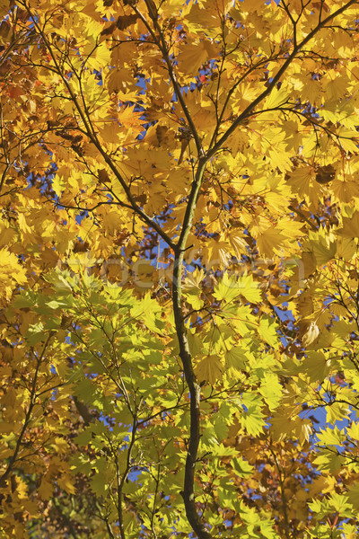 Maple branch with colorful autumn leaves Stock photo © frank11