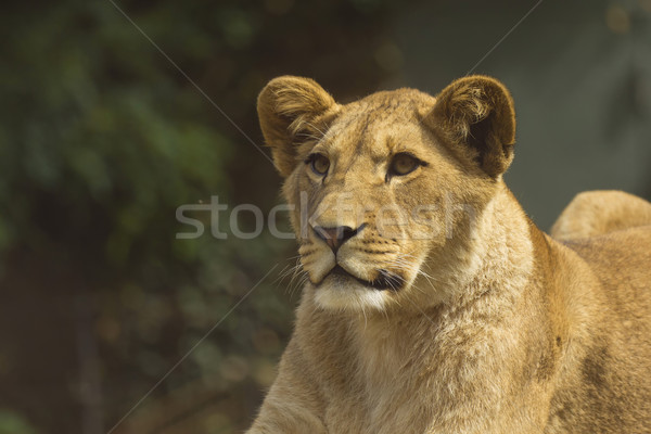 Stock photo: Young lion lying on a tree trunk